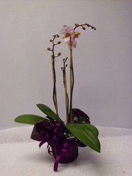Orchid from Beck's Flower Shop & Gardens, in Jackson, Michigan