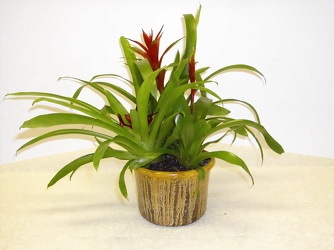 Bromeliad from Beck's Flower Shop & Gardens, in Jackson, Michigan