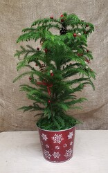 HOLIDAY NORFOLK PINE from Beck's Flower Shop & Gardens, in Jackson, Michigan