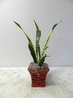 Snake Plant from Beck's Flower Shop & Gardens, in Jackson, Michigan