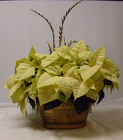 Poinsettia from Beck's Flower Shop & Gardens, in Jackson, Michigan