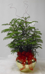 Norfolk Pine from Beck's Flower Shop & Gardens, in Jackson, Michigan