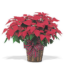 Red Poinsettia from Beck's Flower Shop & Gardens, in Jackson, Michigan
