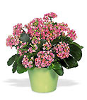 Pink Kalanchoe from Beck's Flower Shop & Gardens, in Jackson, Michigan