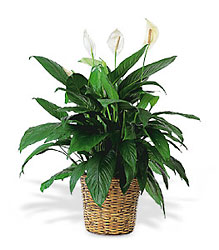 Large Spathiphyllum Plant from Beck's Flower Shop & Gardens, in Jackson, Michigan