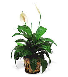 Small Spathiphyllum Plant from Beck's Flower Shop & Gardens, in Jackson, Michigan
