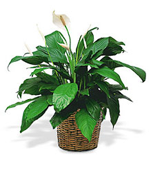 Peace Lily from Beck's Flower Shop & Gardens, in Jackson, Michigan