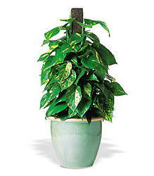 Vertical Pothos on Pole from Beck's Flower Shop & Gardens, in Jackson, Michigan