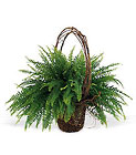 Faithful Fern from Beck's Flower Shop & Gardens, in Jackson, Michigan