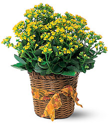 Vivid Yellow Kalanchoe Plant from Beck's Flower Shop & Gardens, in Jackson, Michigan