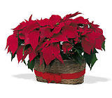 Double Poinsettia Basket from Beck's Flower Shop & Gardens, in Jackson, Michigan